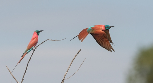 The Northern Carmine Bee-eater, photographed in Murchison Falls National Park, is one of the many bird species that can be found on our Uganda birding and photography tour.