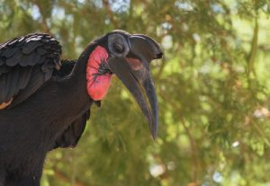 This Abyssinian Ground Hornbill, photographed in Murchison Falls National Park, is one of the many bird species that can be found on our Uganda birding and photography tour.