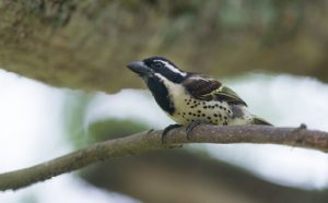 The Spot-flanked Barbet, photographed at Lake Mburo, is one of the many bird species that can be found on our Uganda birding and photography tour.