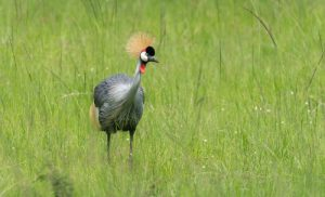 The Grey-crowned Crane, Uganda's national bird, is one of the many bird species that can be found on our Uganda birding and photography tour.