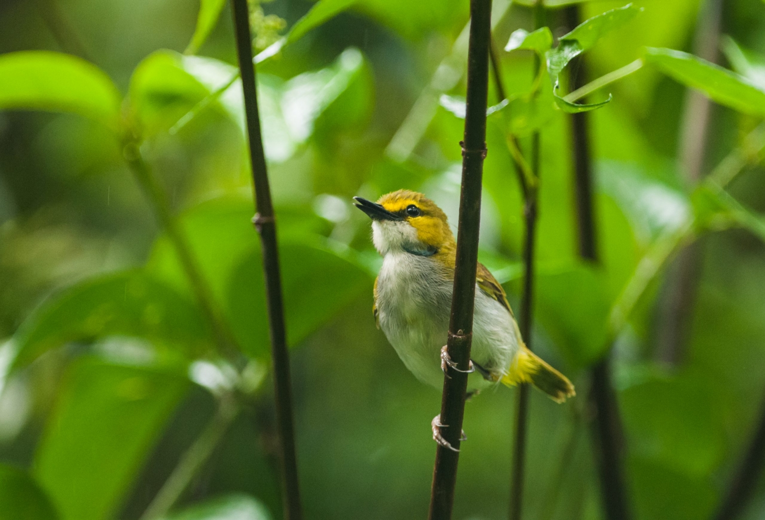 yellow-browed cameroptera