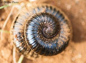 Our entomological tours through Namibia target hundreds of insect species such as this Shongololo millipede.