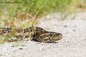 Our herpetological tours through Namibia target hundreds of reptile species such as this African Rock Python (Python sebae).