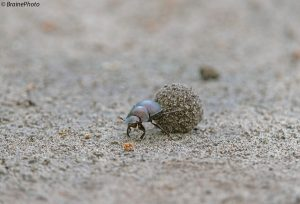 Our entomological tours through Namibia target hundreds of insect species such as this Dung Beetle