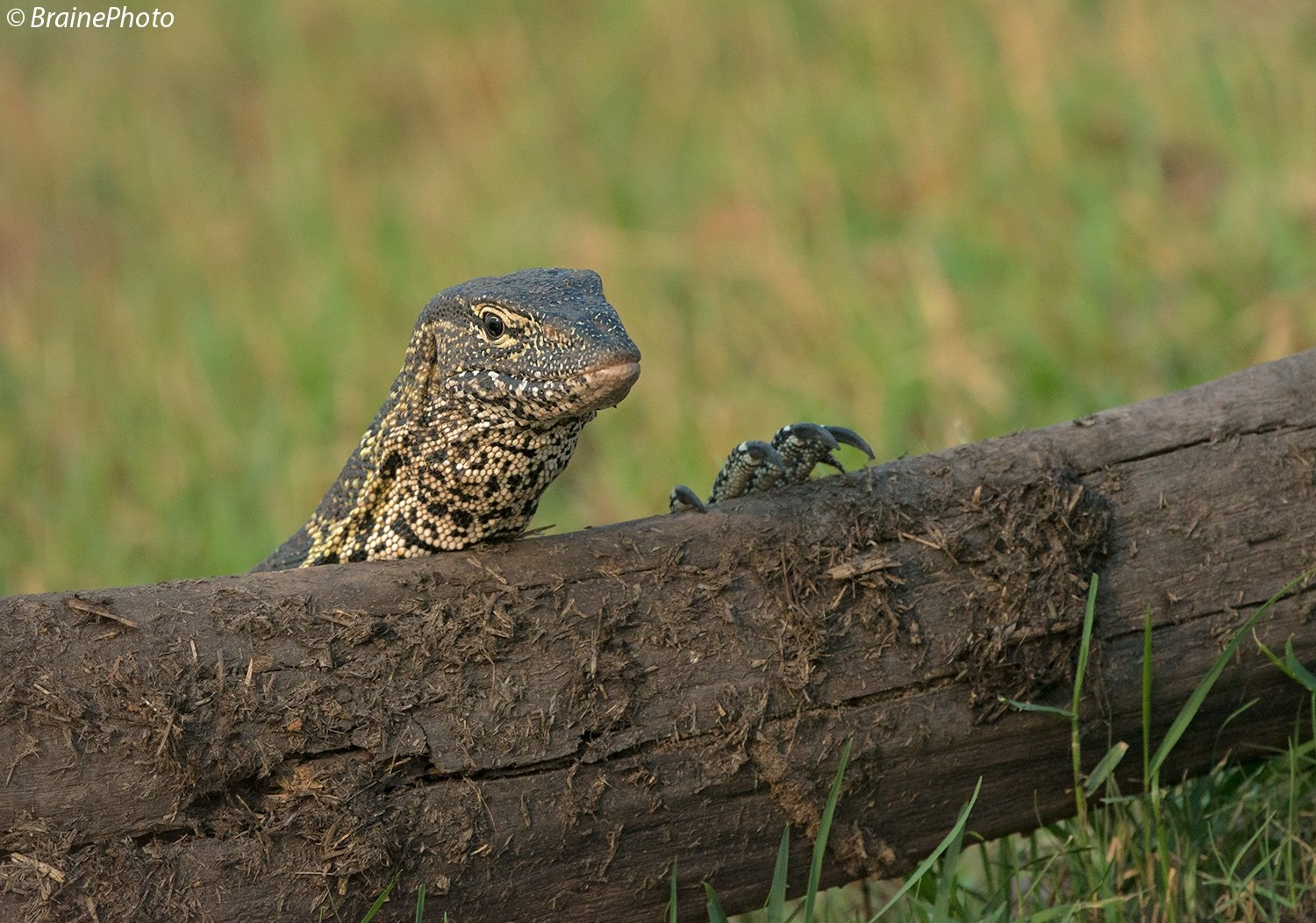 This Nile Monitor (Varanus Niloticus) can be found all along the Kunene, Kavango, Okavango, Kwando and Zambezi River in Namibia. We make a special effort to find them on our birding, reptile and photographic safaris.