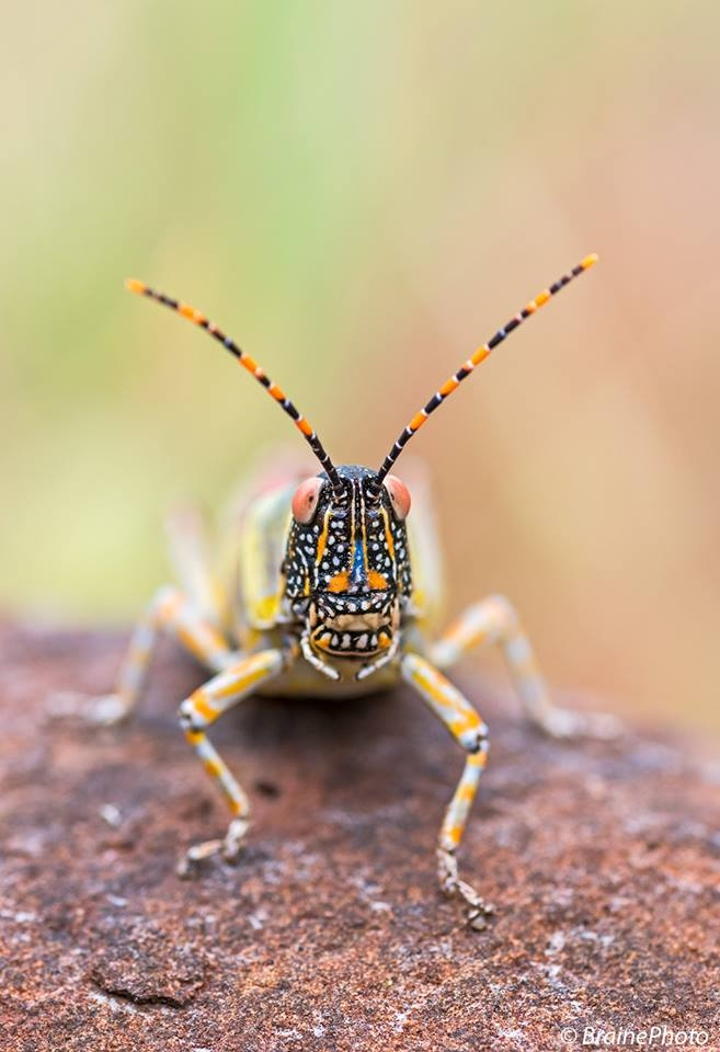 Our entomological tours through Namibia target hundreds of insect species such as this Elegant Grasshopper, photographed at Etendeka Mountain Camp, Damaraland.