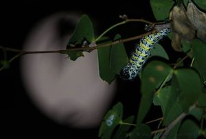 Our entomological tours through Namibia target hundreds of insect species such as this Mopane Worm photographed at Hobatere Lodge