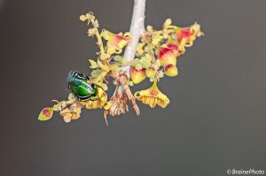 Our entomological tours through Namibia target hundreds of insect species such as this Rhabdotis semipunctata, photographed on a Sterculia africana