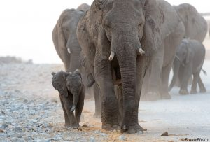 This elephant family was photographed in Etosha National Park, one of the best game parks in the world hosting 4 of Namibia's Big 5, including lion, leopard, elephant and rhino. All of our photography, botany, reptile and birding tours pass through this magical destination.