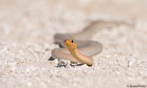 Our herpetological tours through Namibia target hundreds of reptiles such as this Olive Grass Snake (also known as the Olive Whip Snake) (Psammophis Mossambicus) photographed in Etosha National Park
