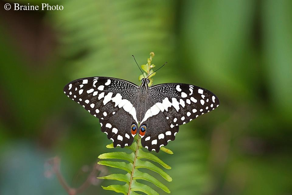 Our entomological tours through target hundreds of butterfly species