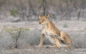 This lioness was photographed in Etosha National Park, one of the best game parks in the world hosting 4 of Namibia's Big 5, including lion, leopard, elephant and rhino. All of our photography, botany, reptile and birding tours pass through this magical destination.