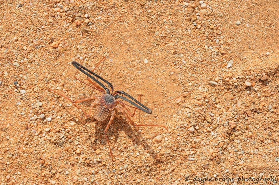 Our entomological tours through Namibia target hundreds of insect species such as this Tailless Whip Scorpion photographed in the Namib Desert