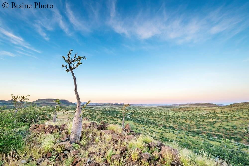 Damaraland sunrise at Etendeka Mountain Camp with Bottle trees (Pachypodium lealii) can be experienced on our photography, botany, reptile and birding tours