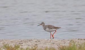 Our Namibia birding tours and desert birding day tours offer many bird species, such as the Common Redshank. Namibia offers easy birding and great bird photography opportunities