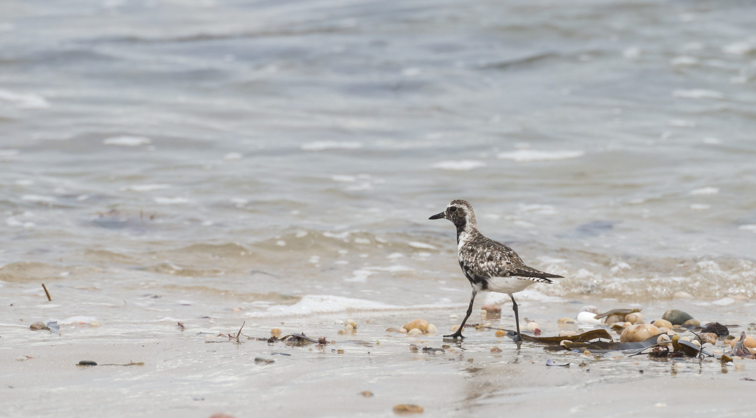Our Namibia birding tours and desert birding day tours offer many bird species, such as the Grey Plover. Namibia offers easy birding and great bird photography opportunities