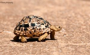 Our herpetological tours through Namibia target hundreds of reptiles such as this Leopard Tortoise (Stigmochelys pardalis)