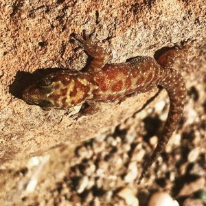 Our herpetological tours through Namibia target hundreds of reptiles such as this gecko (Pachydactylus bicolor), photographed in the basalts of Damaraland.