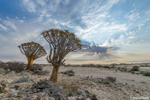Namibian sunrise such as this one in the Namib Desert with Quiver trees (Aloe dichotoma) can be experienced on our Namibia photography, botany, reptile and birding tours