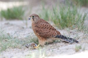 One of our desert day tours features the spectacular Spitzkoppe, a paradise for photographers, birders and herpetologists. The Rock Kestrel is one of the many targets on this tour.