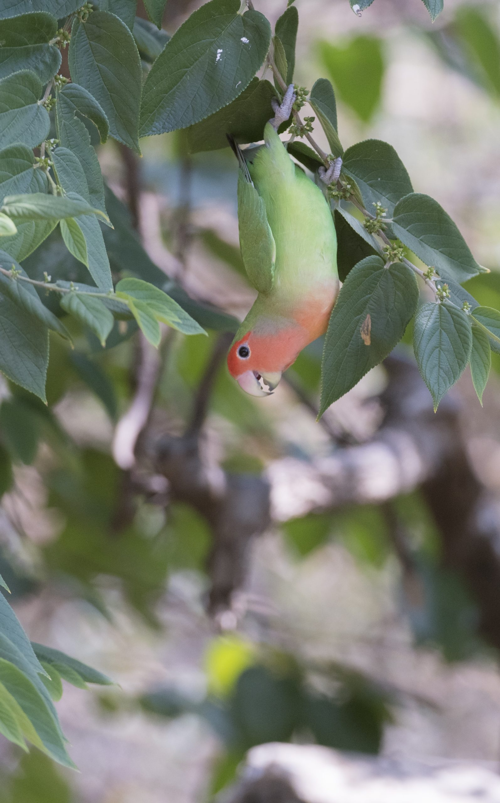 Our day tour to Brandberg offers the chance to see many desert-adapted mammals, reptiles, plants, insects and birds. It also offers wonderful scenery and great photographic opportunities. The Rosy-faced Lovebird is one of the many bird species that can be seen on this tour.