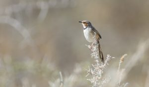 Our Namibia birding tours and desert birding day tours offer many desert specials, such as the Rufous-eared Warbler, photographed outside Swakopmund.
