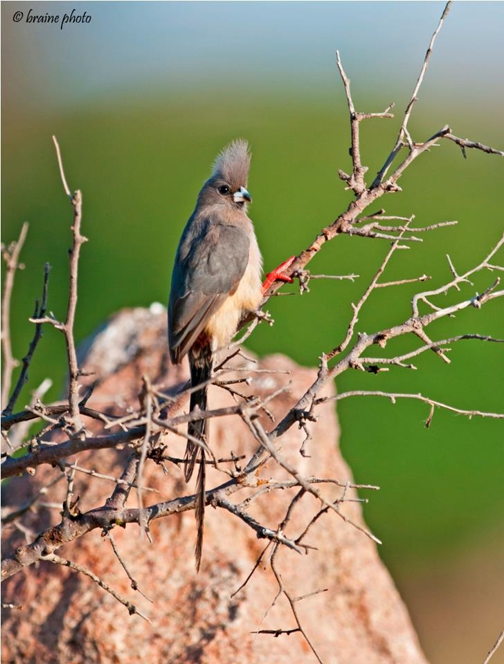 Our day tour to Brandberg offers the chance to see many desert-adapted mammals, reptiles, plants, insects and birds. It also offers wonderful scenery and great photographic opportunities. The White-backed Mousebird (Colius colius) is one of the many bird species that can be seen on this tour.