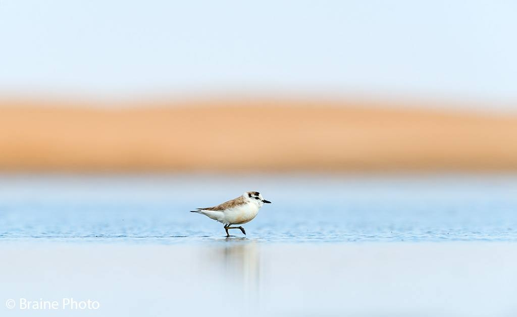 Our Namibia birding tours and desert birding day tours offer many bird species, such as the White-fronted Plover, photographed at the Walvis Bay Saltworks