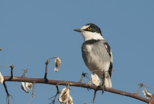 One of our desert day tours features the spectacular Spitzkoppe, a paradise for photographers, birders and herpetologists. The White-tailed Shrike is one of the main targets on this tour.