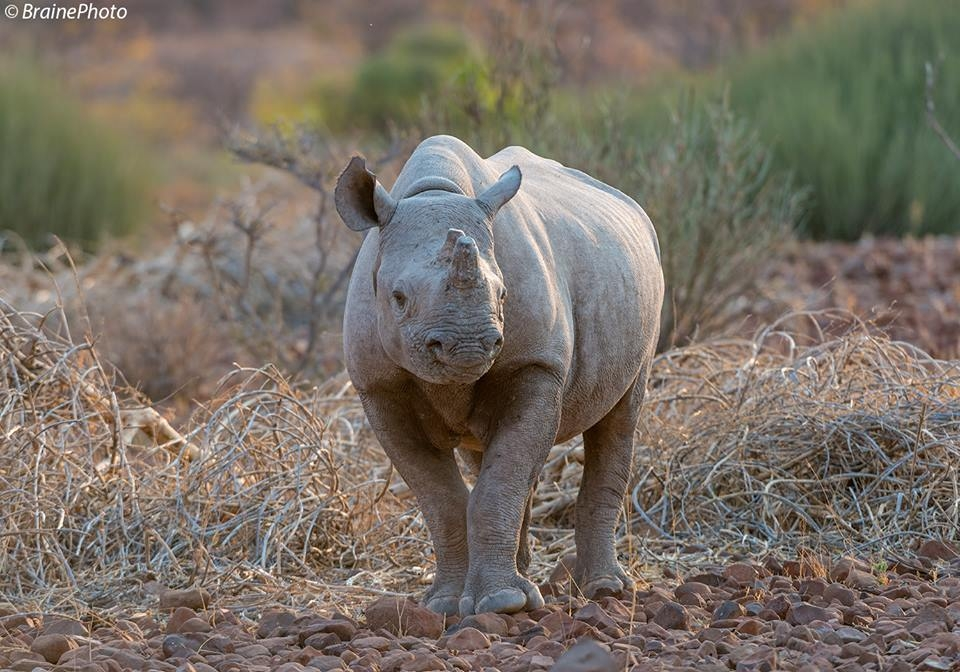 This Black Rhino was photographed in Damaraland, home to many desert-adapted species such as elephants, giraffes, oryx and zebras. All of our photography, botany, reptile and birding tours pass through this magical destination.