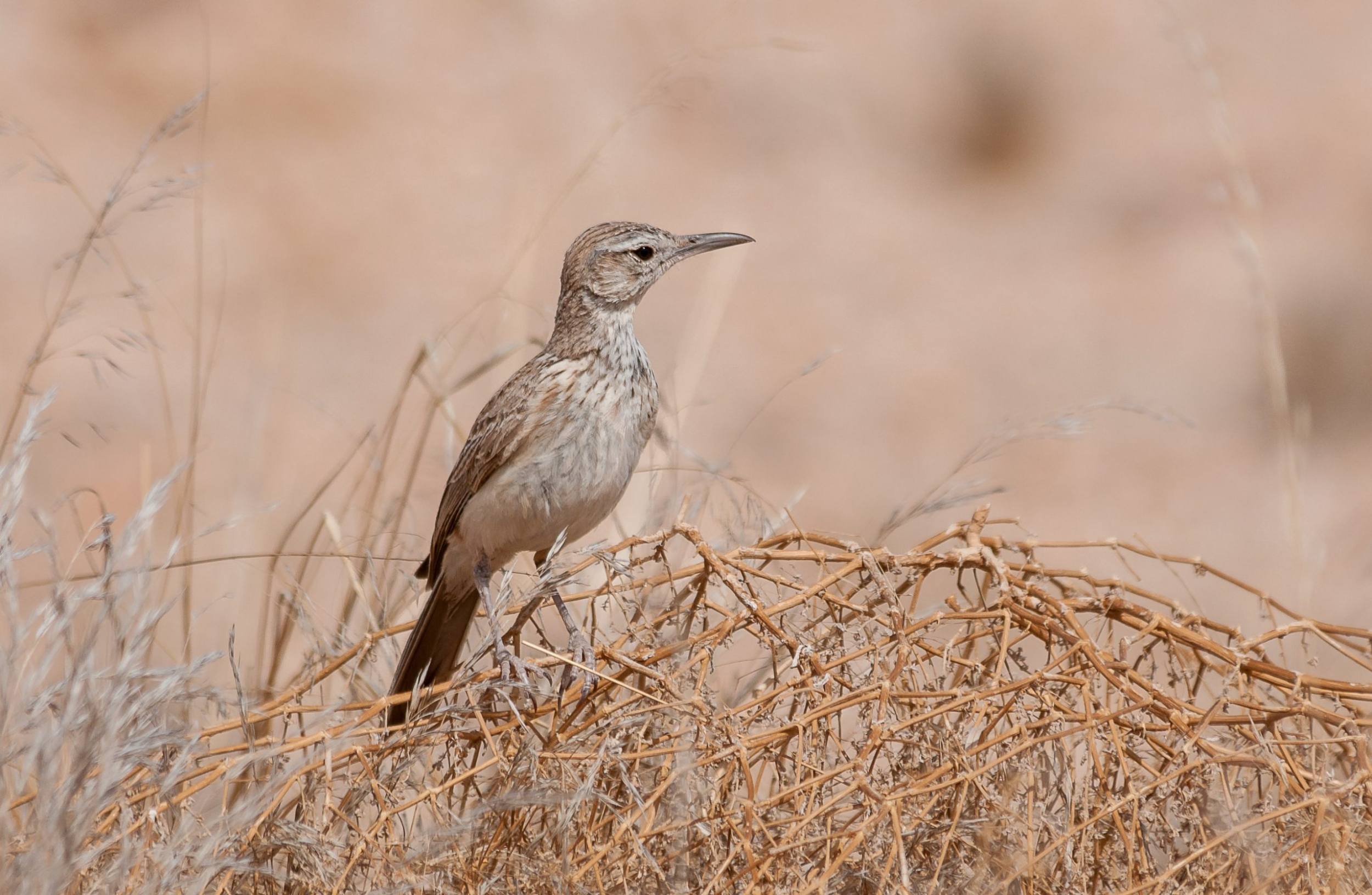 Our day tour to Brandberg offers the chance to see many desert-adapted mammals, reptiles, plants, insects and birds. It also offers wonderful scenery and great photographic opportunities. This Benguela Long-billed Lark is one of many bird species that can be seen on this tour.