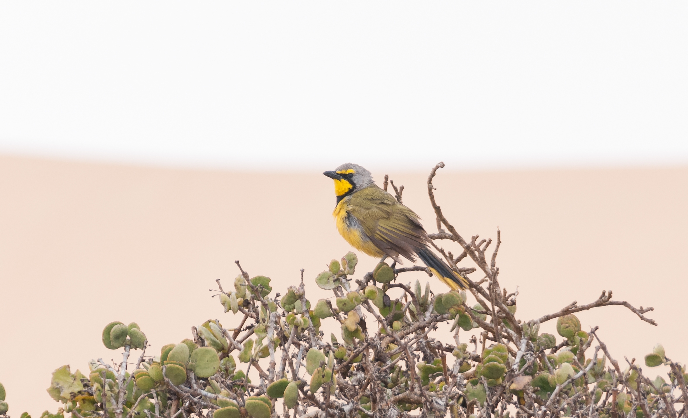 Our Namibia birding tours and desert birding day tours offer many desert specials, such as the Bokmakierie, photographed outside Swakopmund.