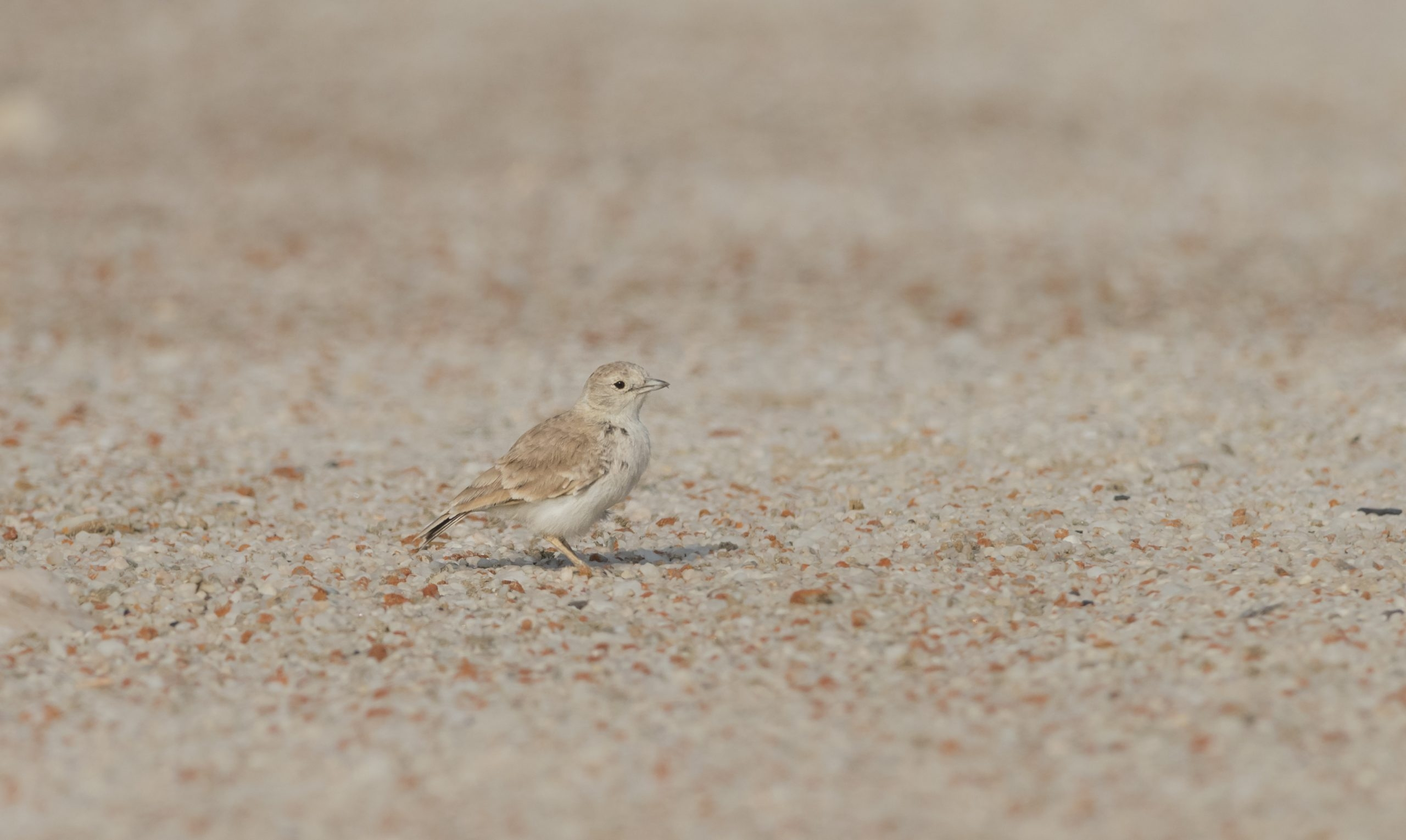 Our Namibia birding tours and desert birding day tours offer many desert specials, such as the near-endemic Gray's Lark, photographed outside Swakopmund.
