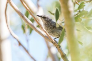 One of our desert day tours features the spectacular Spitzkoppe, a paradise for photographers, birders and herpetologists. The Layard's Tit-babbler is one of the main targets on this tour.