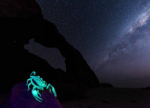 Burrowing Scorpion, Opistophthalmus wahlbergi, Milky Way, Namibia, rock arch